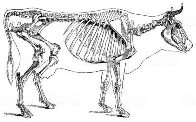 I nomi delle ossa
